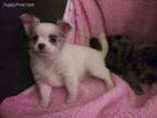 Puppyfinder com: Chihuahua puppies puppies for sale near me in