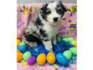 Australian Shepherd Puppy for sale in Griggsville, IL, USA