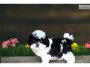 Puppyfindercom Shih Poo Puppies For Sale Near Me In Utah Usa