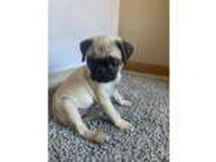 Pug Puppy for sale in North Aurora, IL, USA