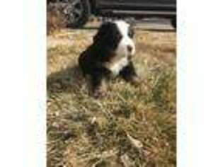 Bernese Mountain Dog Puppy for sale in Highlands Ranch, CO, USA