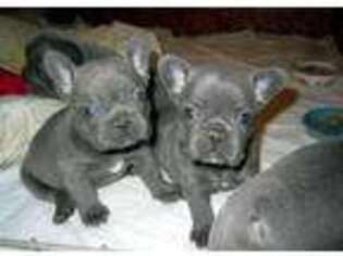 French Bulldog Puppy for sale in Manchester, NH, USA