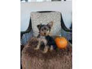 Yorkshire Terrier Puppy for sale in Albertville, MN, USA