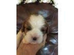 Cavalier King Charles Spaniel Puppy for sale in Laramie, WY, USA