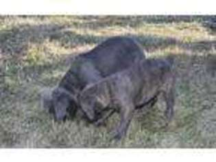 View Ad Cane Corso Puppy For Sale Near Indiana Middlebury Usa