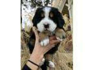 Bernese Mountain Dog Puppy for sale in Fort Collins, CO, USA