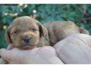 View Ad: Goldendoodle Puppy for Sale near Utah, Roosevelt
