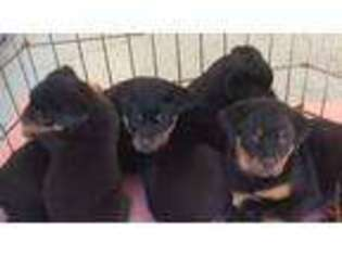 View Ad Rottweiler Puppy For Sale New York Newburgh Usa
