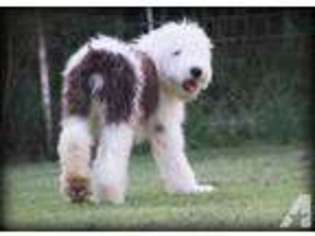 Puppyfinder com: Old English Sheepdog puppies for sale and