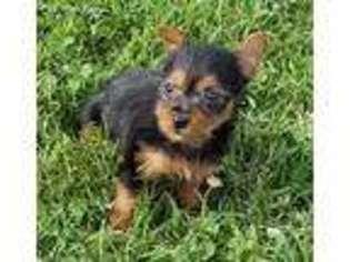View Ad Australian Terrier Puppy For Sale Arkansas Gravette Usa