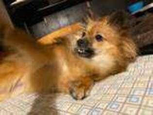 Pomeranian Puppy for sale in Livonia, MI, USA