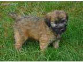 View Ad: Soft Coated Wheaten Terrier Puppy for Sale