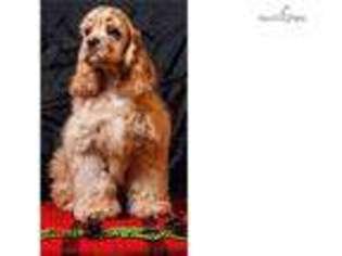 View Ad: Cocker Spaniel Puppy for Sale, California, San Diego, USA