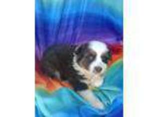 Australian Shepherd Puppy for sale in Burlington, NC, USA