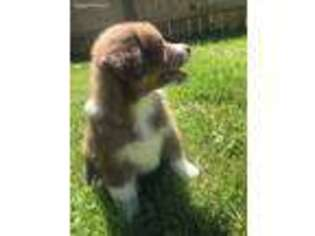 Puppyfinder com: Australian Shepherd puppies puppies for