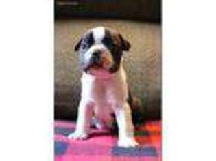 Puppyfinder com: Boston Terrier puppies puppies for sale