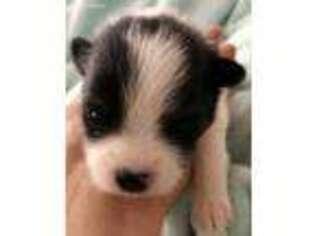 Puppyfinder com: Maltipom puppies puppies for sale near me