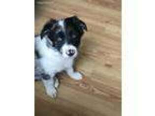 View Ad Border Collie Puppy For Sale North Carolina Candler Usa