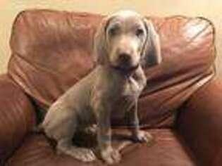 Weimaraner Puppy for sale in Killen, AL, USA