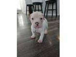 Puppyfinder com: American Bulldog puppies puppies for sale near me