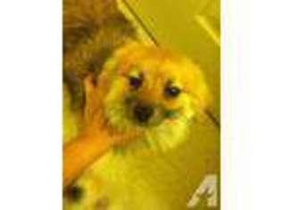View Ad Maltipom Puppy For Sale Colorado Pueblo Usa