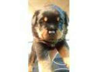 View Ad Rottweiler Puppy For Sale New York Mastic Usa