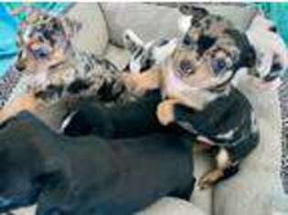 Puppyfinder com: Chihuahua puppies puppies for sale near me