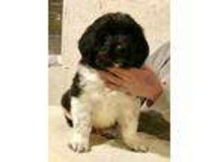 PuppyFinder com - View Ad: Photo #1 of Listing Newfoundland