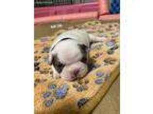French Bulldog Puppy for sale in Berwyn, IL, USA