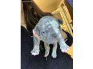 French Bulldog Puppy for sale in Lynnwood, WA, USA