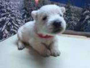 Puppyfinder com: West Highland White Terrier puppies puppies