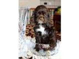 Puppyfinder com: Cocker Spaniel puppies puppies for sale