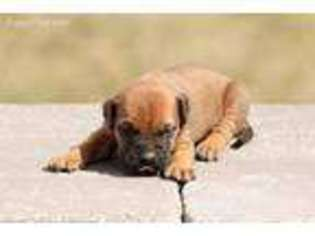 Puppyfinder com: Bullmastiff puppies puppies for sale near