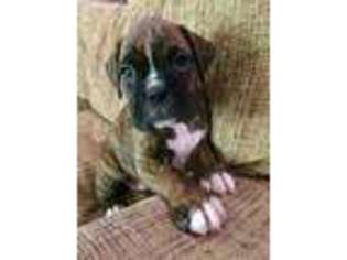 View Ad Boxer Puppy For Sale South Carolina Spartanburg Usa