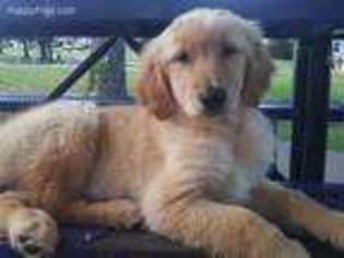 Golden Retriever Puppy For Sale near Tulsa, OK, USA