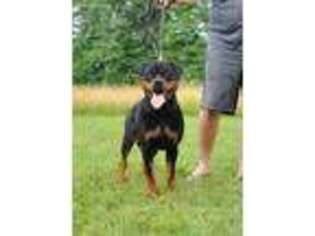 View Ad Rottweiler Puppy For Sale Connecticut Preston Usa