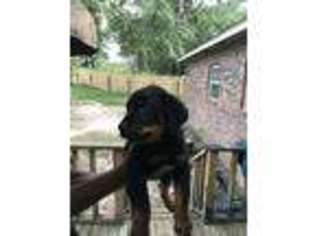 Rottweiler Puppy for sale in Little Rock, AR, USA