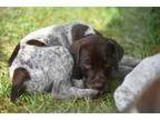 View Ad German Shorthaired Pointer Puppy For Sale Ohio Cincinnati