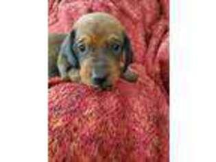 Medium Photo #1 Dachshund Puppy For Sale in Louisa, VA, USA