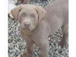 Labrador Retriever Puppy for sale in Trafalgar, IN, USA