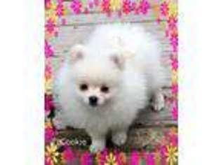 Pomeranian Puppy For Sale near Leona, TX, USA