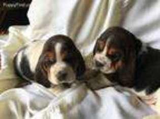 View Ad Basset Hound Puppy For Sale Wisconsin Viroqua Usa