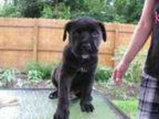 Cane Corso Puppy for sale in Syracuse, NY, USA