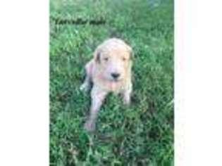 Puppyfinder com: Goldendoodle puppies puppies for sale and