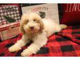 Goldendoodle Puppy for sale in Little Rock, AR, USA
