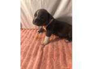 Puppyfinder com: Mutt puppies puppies for sale near me in Waterbury