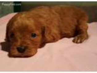 View Ad Cavapoo Puppy For Sale Near North Carolina Charlotte Usa