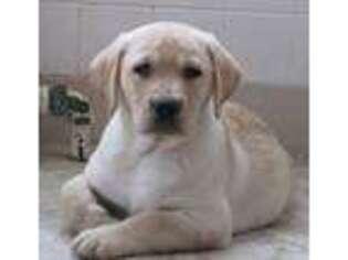 Labrador Retriever Puppy for sale in Lititz, PA, USA