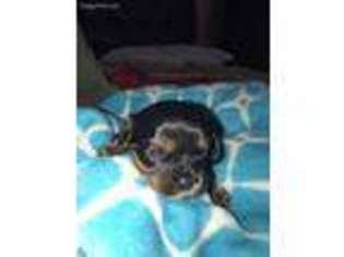 Puppyfinder com: Cavalier King Charles Spaniel puppies