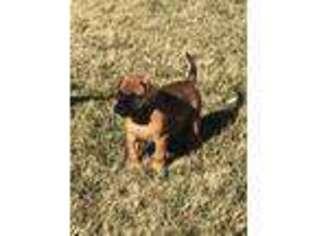 Bullmastiff Puppy for sale in Denver, PA, USA